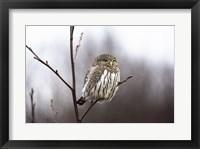 Framed Pygmy Owl