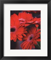 Framed Red Gerbera Daisies I