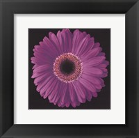 Framed Gerbera Daisy Purple