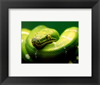 Framed Light Green Emerald Tree Boa Snake