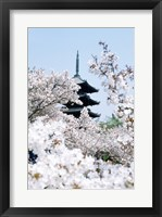 Framed Cherry Blossom trees, Kyoto, Honshu, Japan