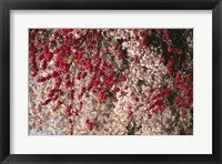 Framed Cherry blossom flowers blooming, Kyoto City, Japan