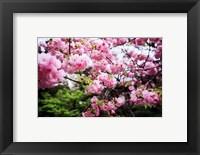 Framed Close-up of cherry blossoms, Sumida River, Asakusa, Tokyo, Japan