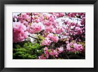 Framed Close-up of cherry blossoms, Sumida River, Asakusa, Tokyo, Japan