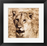Framed Young Lion