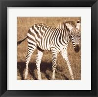 Framed Young Zebra