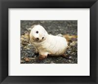 Framed Baby Fur Seal, South Georgia