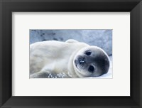 Framed Baby Seal