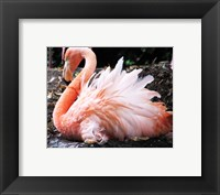 Framed Broedende Rode Flamingo