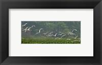 Framed Cattle Egrets