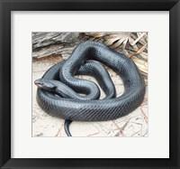 Framed Eastern Indigo Snake