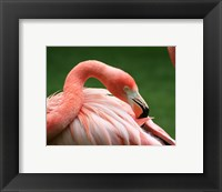 Framed Flamingo Grooming
