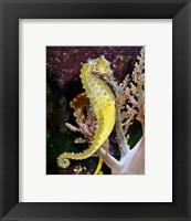 Framed Hippocampus Barbouri