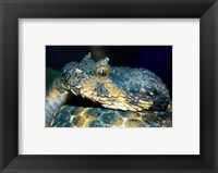 Framed Horned Viper
