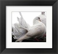 Framed Little White Dove, Colchester Zoo