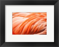 Framed Flamingo Feathers Closeup