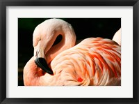 Framed Close-up of a Sleeping Flamingo