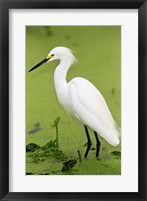 Framed Close-up of a Snowy Egret Wading in Water