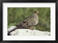 Framed Mourning Dove