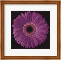 Framed Gerbera Daisy Purple
