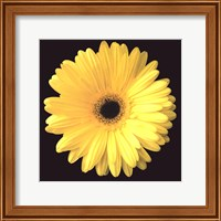 Framed Gerbera Diasy Yellow