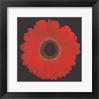 Framed Gerbera Daisy Red