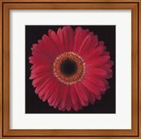 Framed Gerbera Daisy Pink