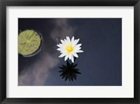 Framed Lotus Yin-Yang