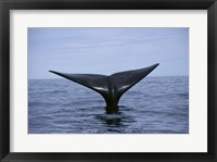 Framed Southern Right Whale Argentina