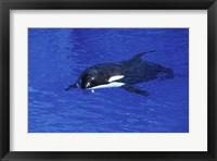 Framed Killer Whale