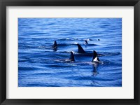 Framed Pod of Killer Whales swimming in the Sea