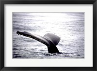 Framed Humpback Whale Black and White Tail