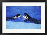 Framed Killer Whales Sea World San Diego California USA