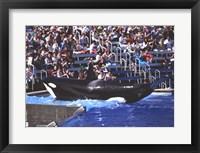 Framed Killer Whale Sea World San Diego California USA