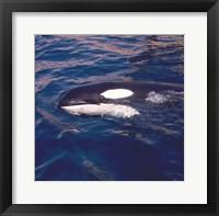 Framed Killer Whale Swimming