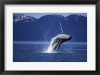 Framed Humpback Whale  Alaska  USA