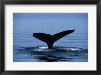 Framed Humpback Whale Tail