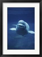 Framed Beluga Whale In Ocean