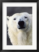 Framed Polar Bear Photo