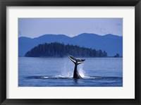 Framed Humpback Whale Diving