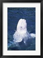 Framed Beluga Whale