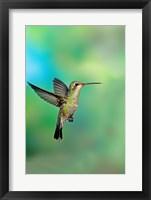 Framed Close-up of a Broad-Billed hummingbird, Arizona, USA