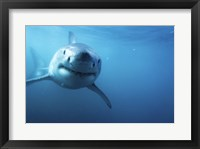 Framed Great White Shark Swimming
