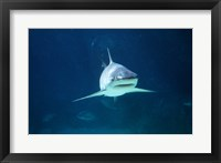 Framed Caribbean Reef Shark