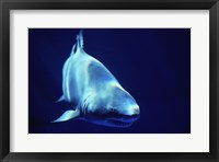 Framed Shark Great White