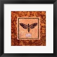 Framed Manduca Moth