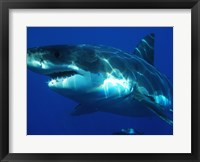 Framed Greatwhite