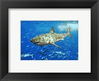 Framed White Shark