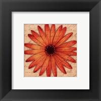 Orange Daisy Framed Print