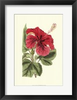 Framed Antique Hibiscus I
